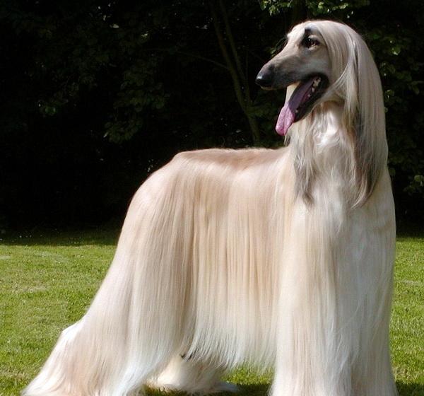 Pros And Cons Of Designer Dog Breeds