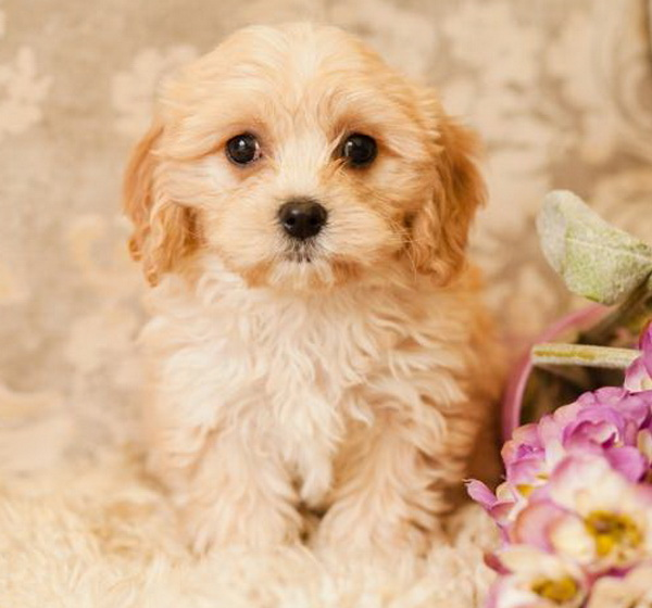 Cavapoo pupies for sale