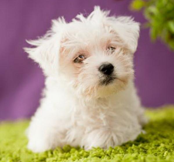 Buy a Weechon puppy
