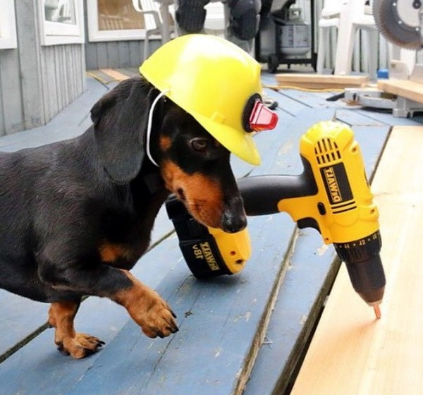 A dachshund on duty