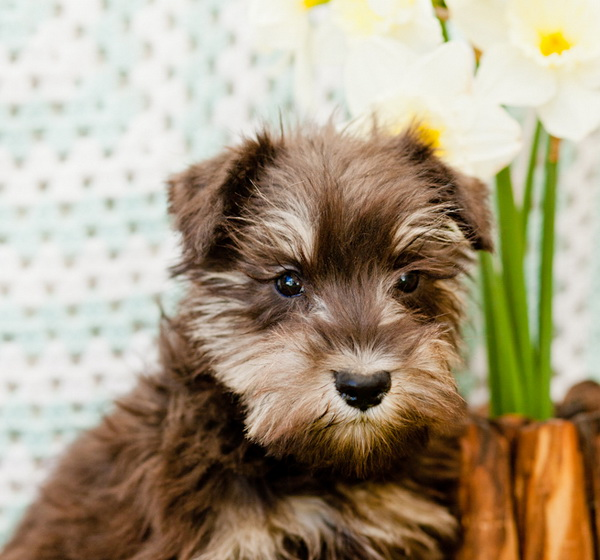 Schnauchon puppy for sale from the breeder