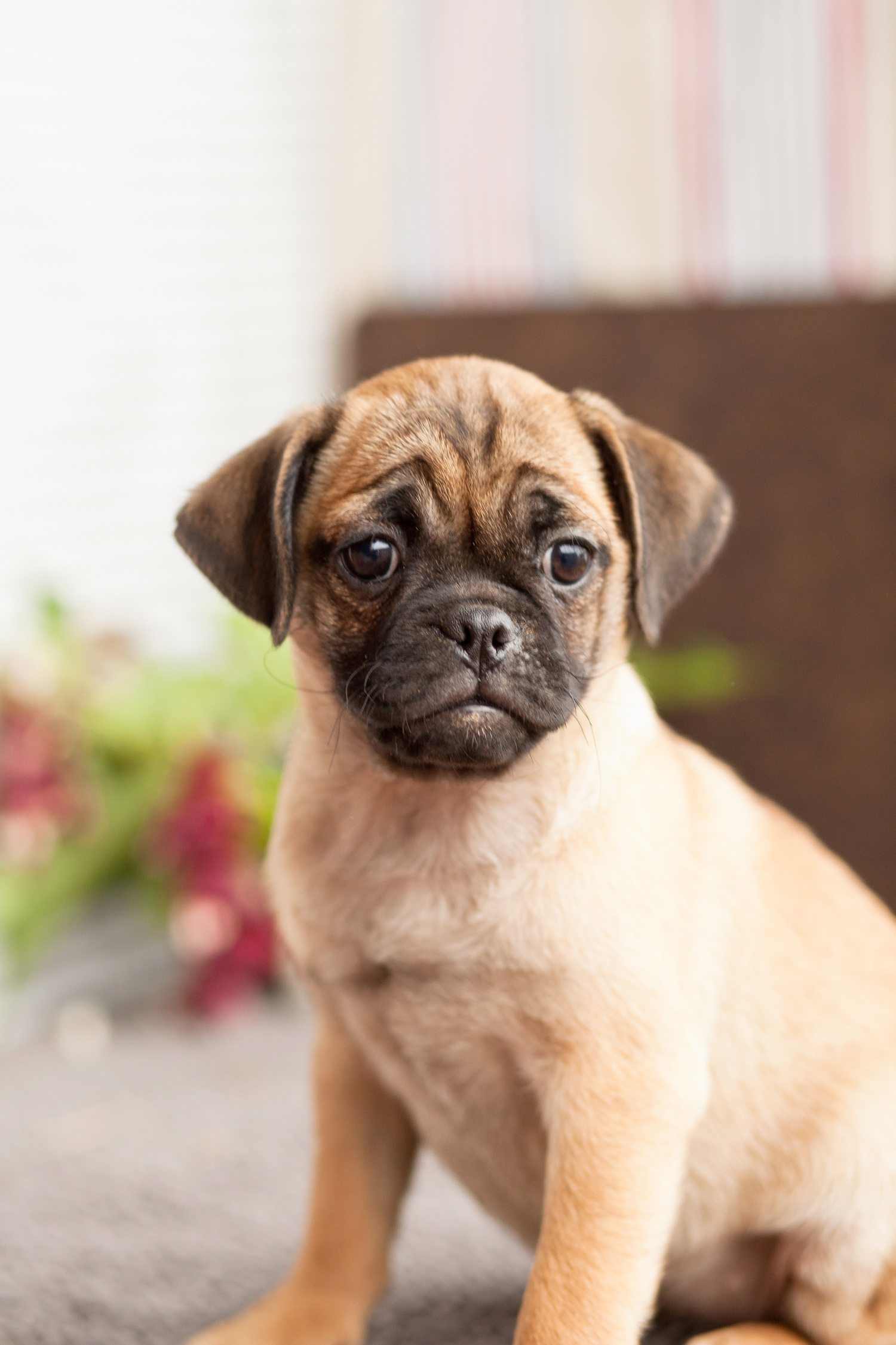How to Care for Puggles