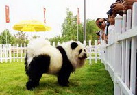 Panda dogs are brought up in China