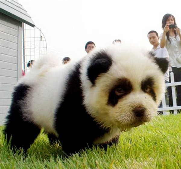 Panda dogs from China