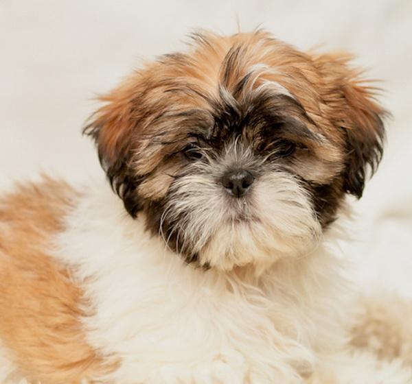 Lhasa Apso pup