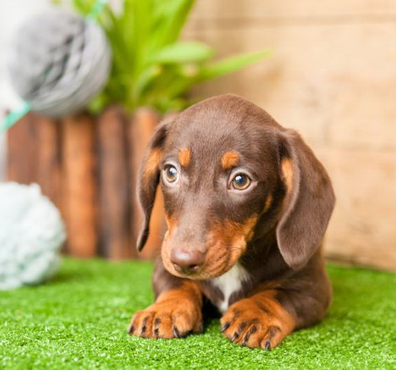 Buy a Duchshund puppy from Kellys Kennels