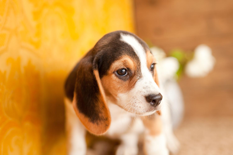 Beagle Dog Nature
