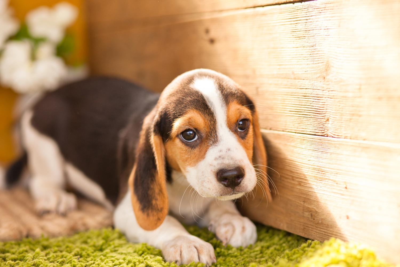 beagle puppies colour tri puppy beagles pups kennels