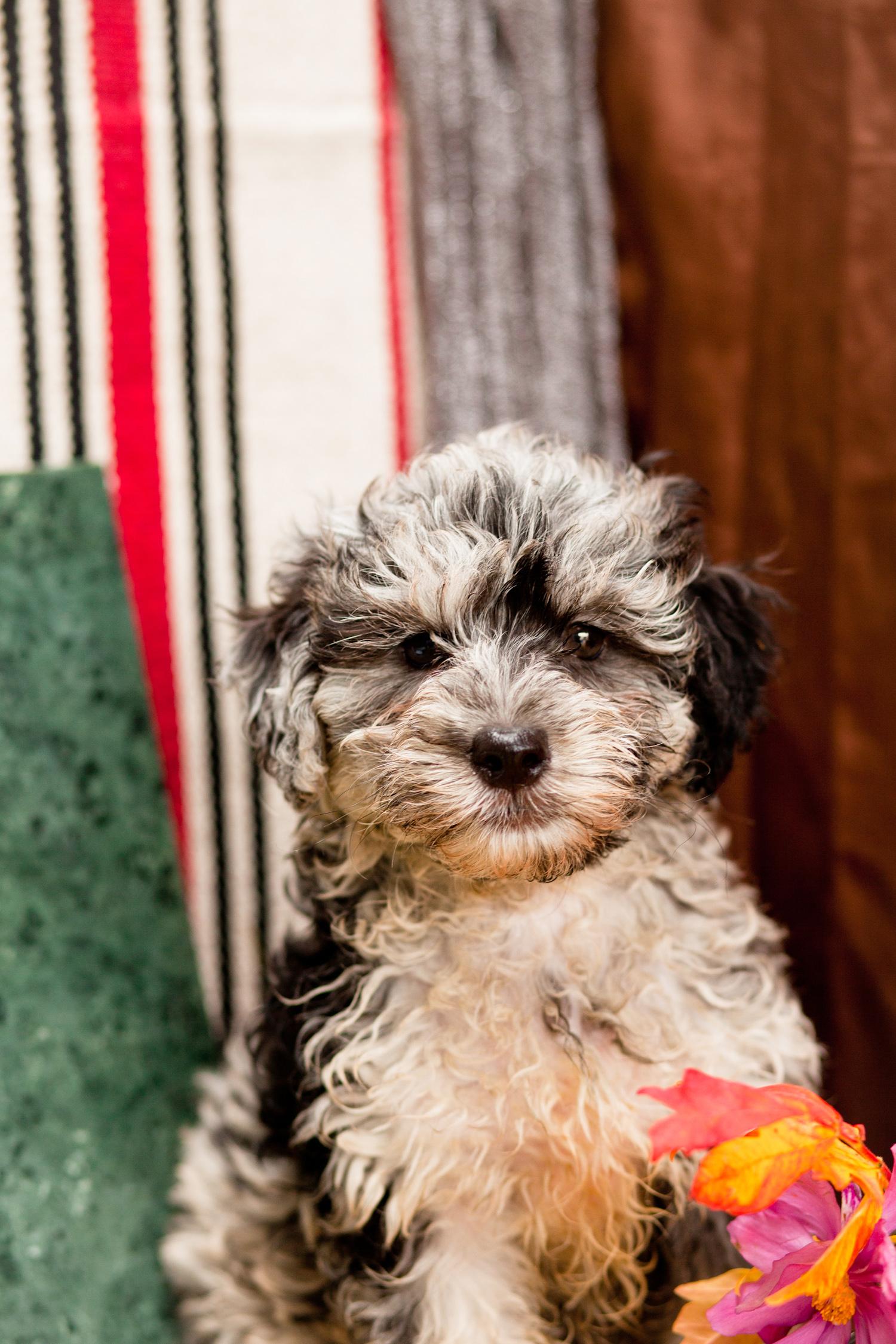 Dorkie Pups Kellys Kennels