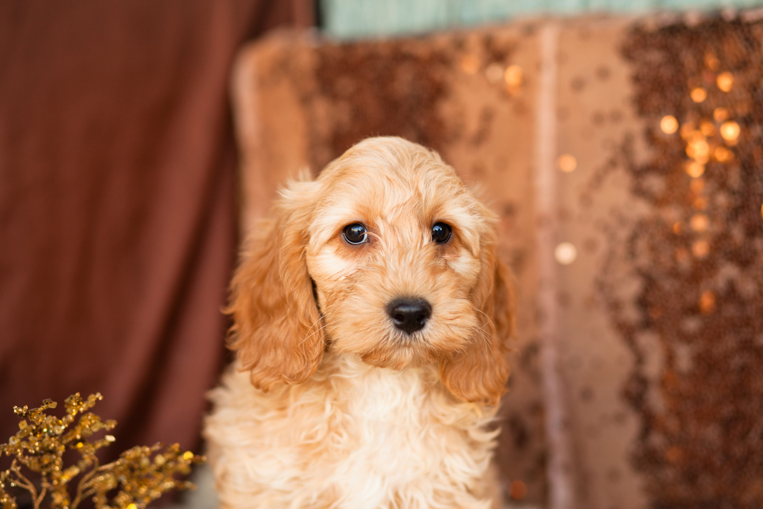 1 Stunning Male Cockapoo Puppy for Sale | New Zealand