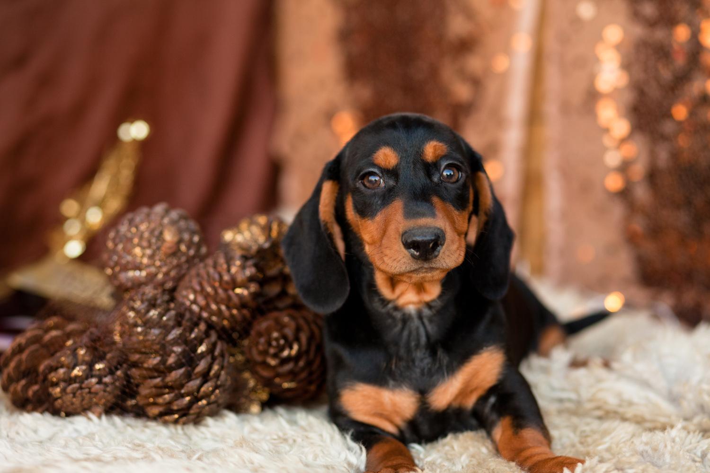 Cutest Dachshunds Pups Kellys Kennels