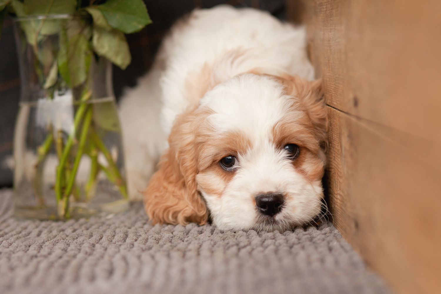 Can Puppies Be Licensed Service Dogs