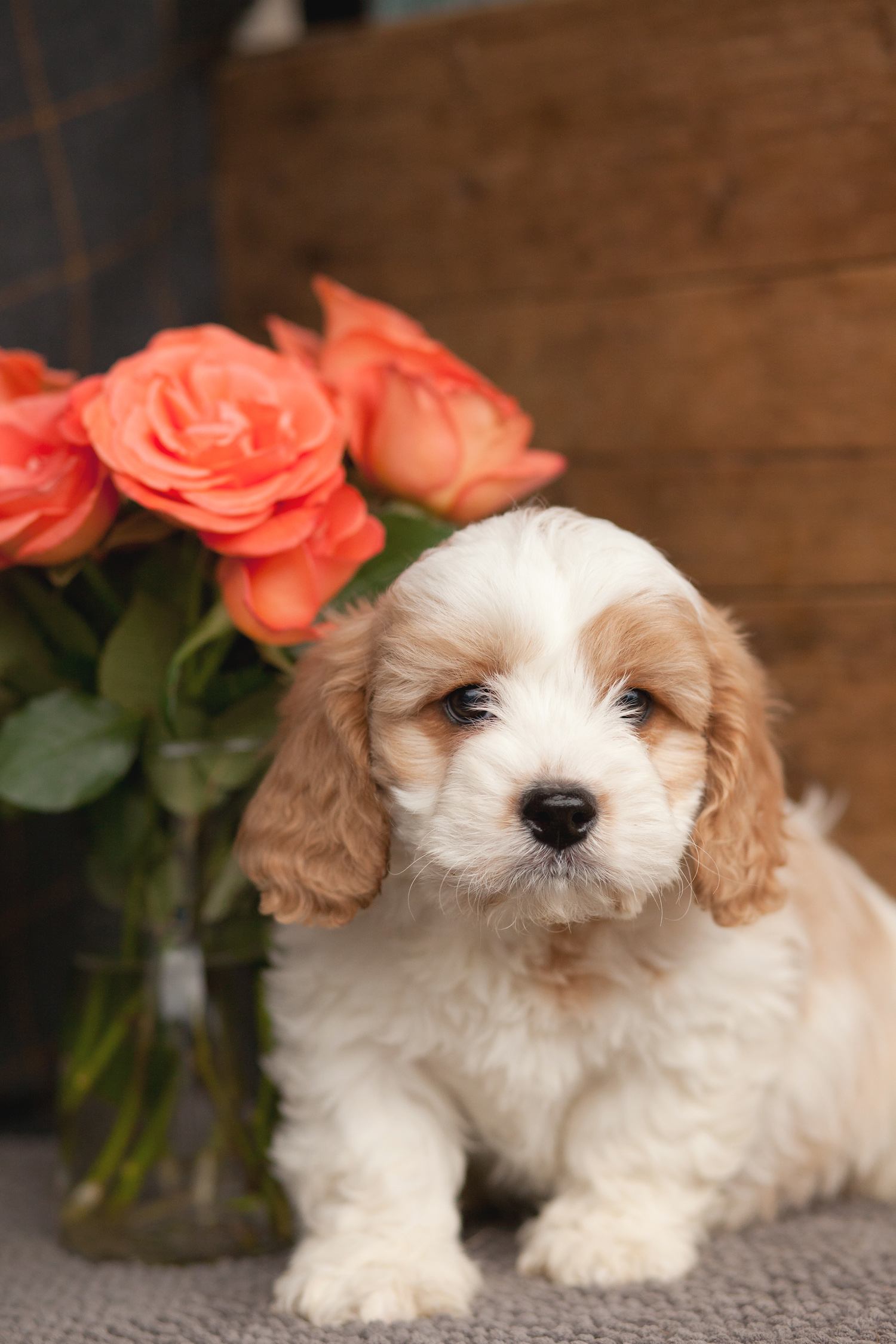 Beautiful Cavachons Kellys Kennels