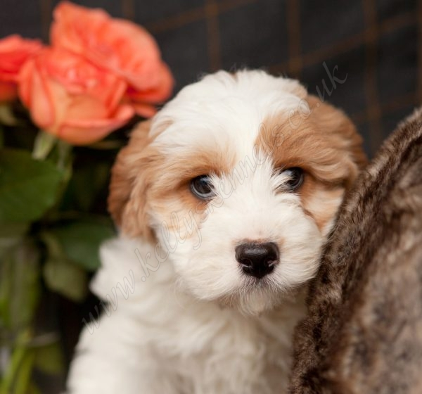 Cheshire Dog Home Puppies
