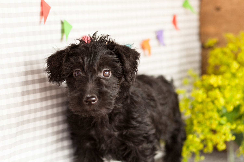 Scottiepoo Puppies Kellys Kennels