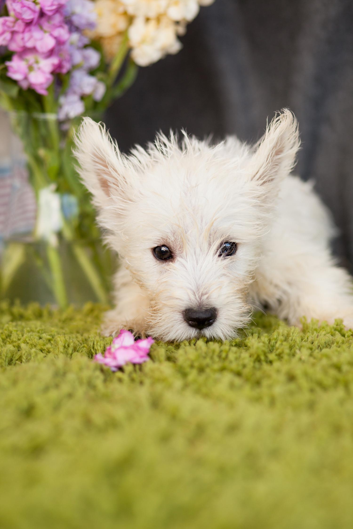 Westie Pups Really Cute – Kellys Kennels