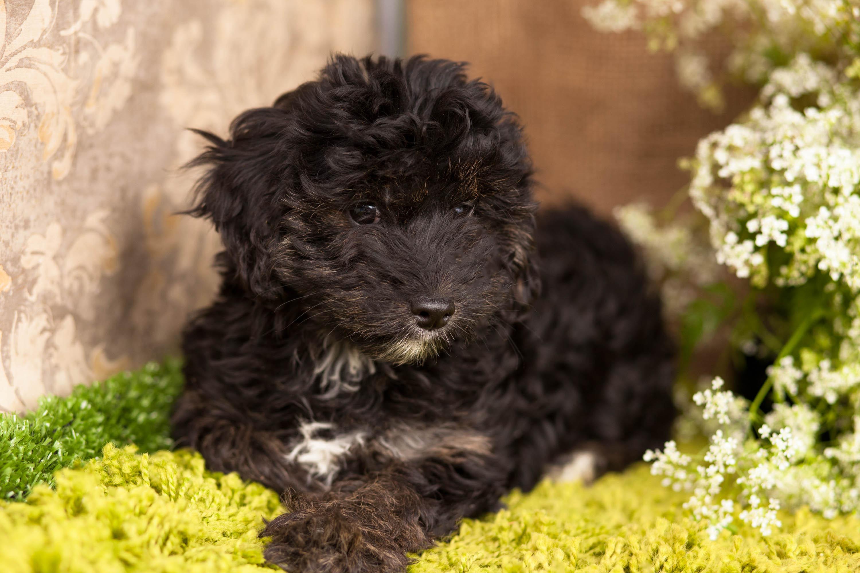 YorkiePoo Puppies – Kellys Kennels